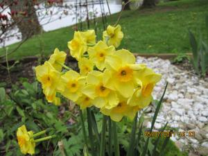 daffodil talk 069